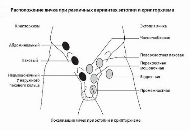 массаж яичек схема